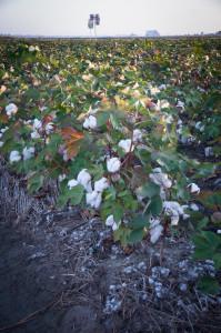 Bomullsplanter utenfor Clarksdale